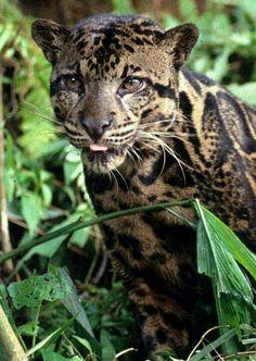 Bornean Leopard