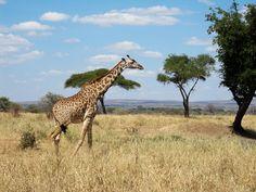 Giraffe  #wallpaper #Africa