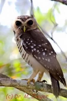 White-browed Owl (Athene superciliaris) videos, photos and sound recordings | the Internet Bird Collection | HBW Alive