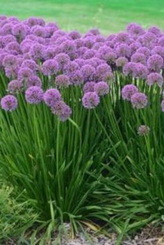 Millenium Allium explodes in late summer with long-lasting, beautiful purple blooms. This hardy perennial is easy to care for, and will fill your garden with color. Planting several in your perennial bed will paint your landscape with pops of purple in the summer sun. As well as having amazing color while in bloom, the Millenium Allium has strappy foliage that is quite handsome. #garden #spring #gardenchat #trees #flowers #gardening #plants