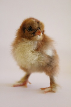 Cochin Chick from A Chicken A Day