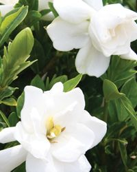 Jubilation™ Gardenia | Shrubs | Southern Living Plant Collection....A charming improvement on a Southern favorite, Jubilation grows compactly and blooms heavily in spring; reblooming fragrantly through summer into fall.