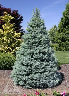 Picea pungens ' Sester Dwarf ' Dwarf Blue Spruce Corner of Backyard Landscaping On A Hill, Landscaping With Rocks, Modern Landscaping, Landscaping Plants, Landscaping Ideas, Fairy Garden Plants, Garden Shrubs, Garden Trees, Blue Spruce