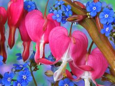 bleeding hearts and forget me nots