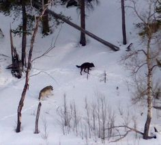 Here's The Amount Of Your Tax Dollars That Paid For Secretive Wolf Slaughter