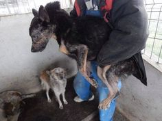 """This is what has become representative for ROMANIA in the past 2 months! Shame on you, Romania! Show your compassion and care, SEND E_MAILS drawing attention to what happens in the private shelter in Cornetu.They took money for every dogs monthly """"care"""" and food.BASTARDS!! SHARE!!! PLEASE!!! Rescue Dogs, Animal Rescue, Animal Graphic, Stop Animal Cruelty, Sad Stories, Animal Welfare, 2 Months, Animal Rights, Pitbull"""