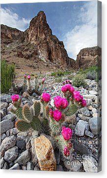 Cactus Blooms Canvas Print by Bill Singleton