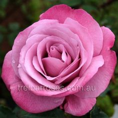 Fragrant Plum :- A deep lilac rose, edged rich purple, with a high centre. Strong perfume