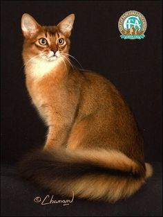 The Somali is a combination of beauty and personality; a very intelligent cat, its zest for life and love of play