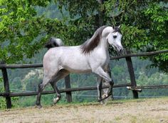 D Maraksh :: Dubai Arabian Horse Stud