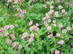 ASTRANTIA major - Sjerneskærm, farve: lys rosa, lysforhold: sol/halvskygge, højde: 60 cm, blomstring: juni - august, velegnet til snit.