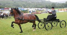 Photo Archive Royal Welsh Show Driving - Wagons - Stallion 2010 : Rainhill Welsh Cobs
