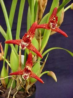 orquidea-maxillaria-tenuifolia-en-flor-orquideas-exotica