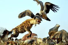 The Flying Hyaena by Wayne Donaldson, Cape Town - Getaway Magazine Female Lion, Fear Of Flying, Lion Art, Game Reserve, Hyena, Animal Tattoos, Wildlife Photography, Animal Kingdom, Animals Beautiful