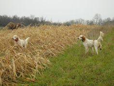 Awsome Setter's from Shag's Run in Harrison County, Kentucky