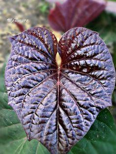 Heart Sweet Potato Leaf