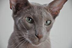 joris oriental shorthair cat 1 by jelliozef, via Flickr