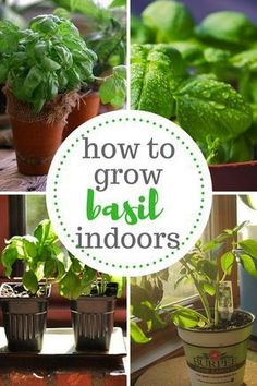 The guide to growing basil indoors.