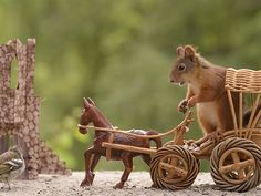 Wild red squirrel in chariot with bird passing by