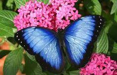 Vlinders in Nederland, vlinders horen tot de meest geliefde insecten ze zien er meestal ook mooi en kleurrijk uit. Vlinders in Nederland bekijkt men anders dan bijvoorbeeld spinnen of wespen deze vind men vaak vies of eng, vlinders daarentegen wekken juist positieve en aardige reacties op. Vlinders in Nederland fantastisch !