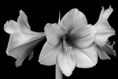 Three Amaryllis flowers photographed in black and white on a black background. Fine art photography prints, decorative canvas prints, acrylic prints, metal Prints wall art  for sale on FineArtAmerica.com. Prints starting at $25. Copyright: James Bo Insogna