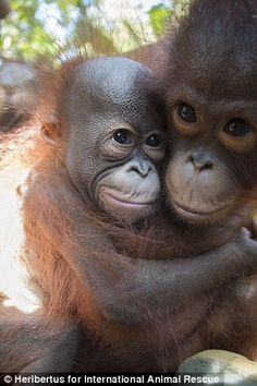 orangutan comforted by another baby on first day at school Happily a young female orangutan, Jamila, hugs Gatot and calms him down.Happily a young female orangutan, Jamila, hugs Gatot and calms him down. Primates, Baby Orangutan, Chimpanzee, Bornean Orangutan, Cute Baby Animals, Animals And Pets, Strange Animals, Beautiful Creatures, Animals Beautiful