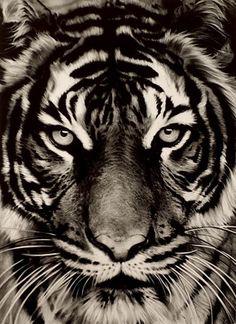 ROBERT LONGO (NE EN 1953) TIGER, 2011 Impression digitale en noir Signée, datée et numérotée 14/30 114 x 83,5 cm - Cornette de Saint Cyr - 05/11/2014