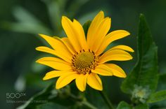 Closeup photo of yellow arnica flower by Oleg Chyrva on