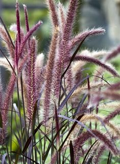 Purple Fountain Grass How To Grow Dry Tolerant Pennisetum Species Purple fountain grass Pennisetum species advena Rubrum is one of the most popular types of weeping ornam. Australian Garden Design, Australian Native Garden, Australian Native Flowers, Australian Plants, Garden Front Of House, Evergreen Garden, Evergreen Landscape, Fountain Grass, Fountain Garden