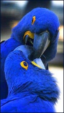 Hyacinth Macaw: With a length (from the top of its head to the tip of its long pointed tail) of about 100 cm ft) it is longer than any other species of parrot. It is the largest macaw and the largest flying parrot species Pretty Birds, Love Birds, Beautiful Birds, Animals Beautiful, Stunningly Beautiful, Beautiful Things, Exotic Birds, Colorful Birds, Exotic Animals