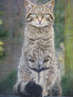 Scottish Wildcat - I had to include this picture of a Scottish Wildcat; the white eyeliner plus the tabby stripes on its face and front legs and the bushy tail remind me of Milton... That is where the similarities end.