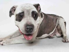 Meet PIGPEN, a Petfinder adoptable Pit Bull Terrier Dog | Los Angeles, CA | Petfinder.com is the world's largest database of adoptable pets and pet care information....