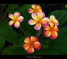 Plumeria - beautiful and so fragrant!  Began as as trees blossoming in the wild even though it has long been cultivated as trees blossoming in cities and gardens--it's the principle flower used in Hawaii to make leiis