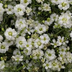 It's the perfect flower for your garden! The improved Gypsophila Gypsy White Improved. Sun Garden, Garden Plants, Large Flowers, White Flowers, Flower Seeds, Flower Pots, Deer Resistant Plants, Seed Catalogs, Annual Flowers