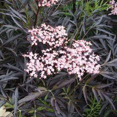Sambucus nigra Black Lace, Fläder