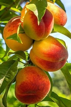 Pin by Татьяна Матвеева on фрукты,ягоды in 2019 Fruit Plants, Fruit Garden, Fruit Trees, Photo Fruit, Fruit Picture, Fresh Fruits And Vegetables, Fruit And Veg, Growing Vegetables, Beautiful Fruits