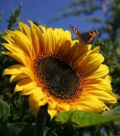 butterfly on a sunflower Flowers can be utilised in many ways. Planting a seed can be like developing an idea about behaviour change. As the flower grows, so does our change in behaaviour until it becomes natural. Happy Flowers, My Flower, Beautiful Flowers, Sun Flowers, Sunflowers And Daisies, Growing Sunflowers, Poppies, Sunflower Pictures, Sunflower Garden