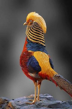 Exotic Pets 451837775111475823 - золотой фазан Golden Pheasant (faisan doré) Source by creditphoto Kinds Of Birds, All Birds, Love Birds, Angry Birds, Pretty Birds, Beautiful Birds, Animals Beautiful, Animals Amazing, Beautiful Pictures