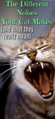 Why is your cat making these noises? Cat noises differ according to breeds and for different purposes, find out here as well as the chattiest cat breeds to get. Tap the link for an awesome selection cat and kitten products for your feline companion! Cats Bus, Cats And Kittens, Kitty Cats, Cute Cats, Funny Cats, Cat Noises, Cat App, Cat Years, Cat Stands