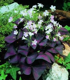 My favorite plant - Purple Shamrock.  Precious little white flowers and leaves that go to sleep at night.
