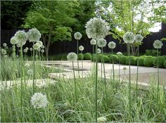 Edel in weiss -Allium und weiss panschierte Gräser
