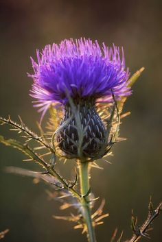 """Bull Thistle by Jim Crotty"""" by Jim Crotty I LOVE THISTLES! they are so beautiful and so spikey, I like the spikes less.I LOVE THISTLES! they are so beautiful and so spikey, I like the spikes less. Purple Flowers, Wild Flowers, Exotic Flowers, Yellow Roses, Pink Roses, Arrangements Ikebana, Arte Floral, Planting Flowers, Flowers Garden"""