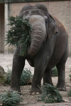 Here Are Some Elephants Eating Christmas Trees