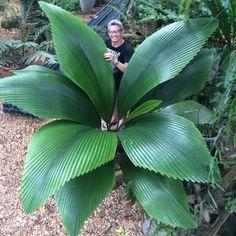 Joey palm, palmeira diamante (Johannesteijsmannia altifrons).
