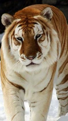 Tiger description essays The light is slowly dimming in the deep forest, for it is the end of the day. All animals have become still, except for the tiger. The Animals, Nature Animals, My Animal, Wild Animals, Baby Animals, Beautiful Cats, Animals Beautiful, Majestic Animals, Big Cats
