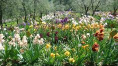 Do you know the Iris Garden?This small but unique garden in Florence is opened just a month per year. Find out when and how to visit the Iris Garden in Florence!