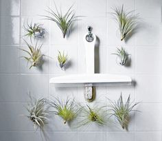 suction succulents? yes, please. if only my bathroom weren't the dark hole