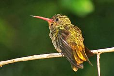 Beija-flor-dourado (Hylocharis chrysura)