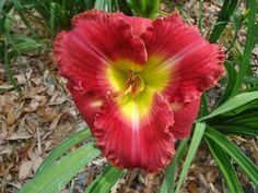 Johnson Daylily Gardens... florida grower and farms. Note: evergreen daylilies do better for me, even though FL grower/sellers  have deciduous and semi-evergreen too.