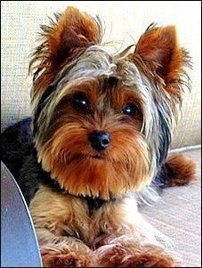 Hershey Yorkshire Terrier Yorkie Baby Male Small Rescue Me